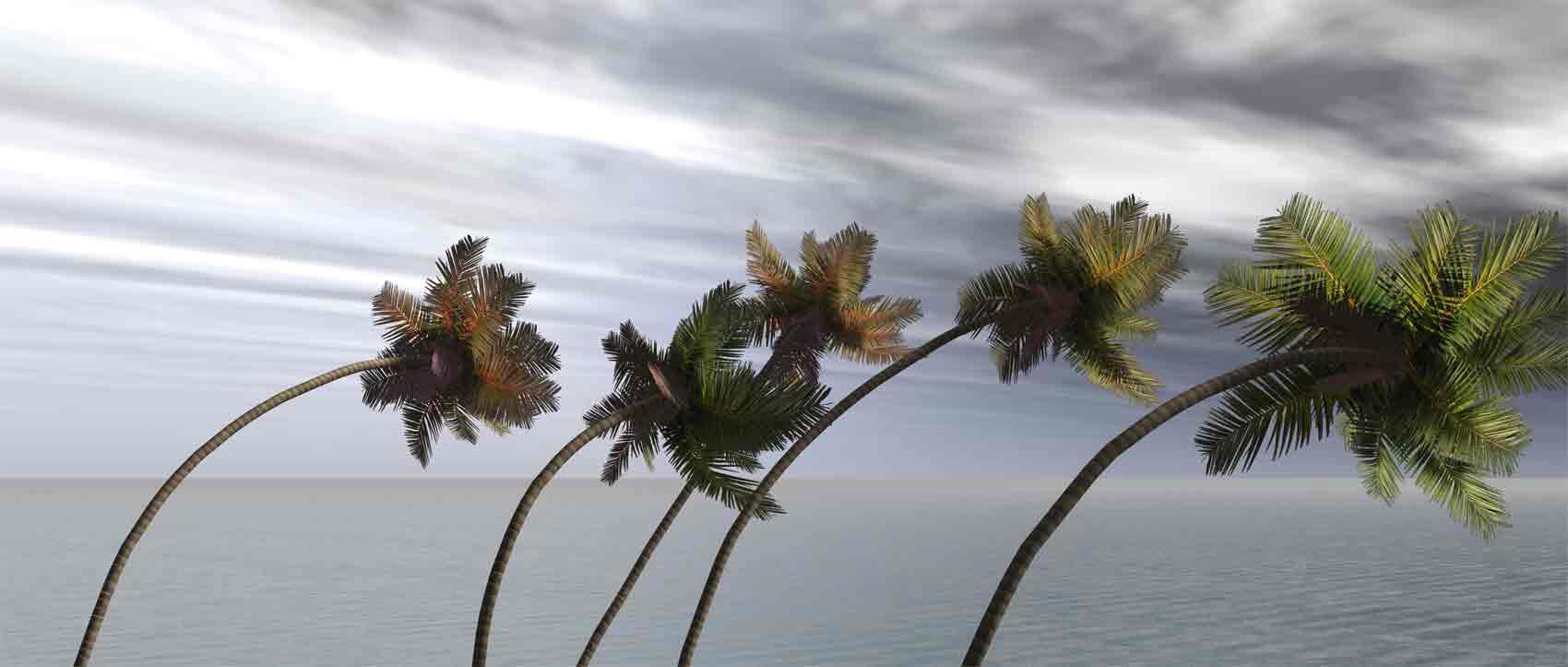 hurricanepalmtree1